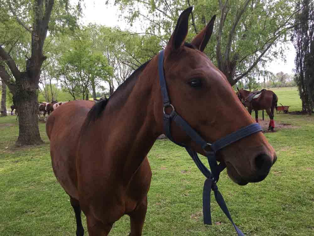 Polo Argentino Horse